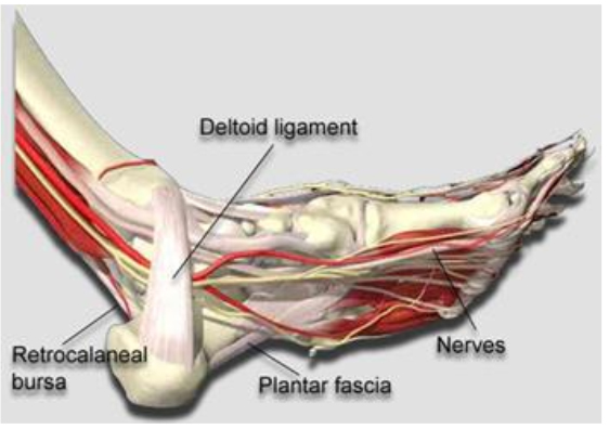 ankle joint, plantar fasciitis
